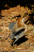 Rufescent Tiger Heron about to fly along the riverbank of the Cuiaba River, the Pantanal region, Mato Grosso state, Brazil, South America