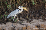 Cocoi Heron trying to swallow a big fish that it caught in the Cuiaba River
