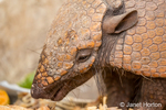 Seven-banded armadillo eating table scraps set out for it