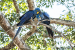 Mated pair of Hyacinth Macaws showing affection as they perch in a tree
