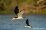 Two Black Skimmers flying in the Pantanal region
