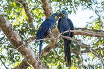 Mated pair of Hyacinth Macaws showing affection as they perch in a tree in the Pantanal region, Mato Grosso, Brazil, South America