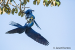 Pair of Hyacinth Macaws mated for life, showing affection