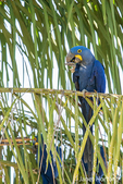 Hyacinth Macaw eating a Babassu palm seed from a Babassu Palm tree