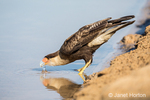 Southern Crested Caracara drinking from the Cuiaba River