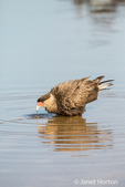 Southern Crested Caracara drinking and about to take a bath in the Cuiaba River