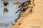 Southern Crested Caracara shaking water off its feathers after taking a bath in the Cuiaba River