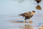 Southern Crested Caracara after just taking a bath in the Cuiaba River