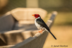 Yellow-billed Cardinal perched on a bird-feeder