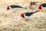 Yellow-billed Cardinal eating birdseed from the ground