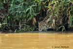 Female jaguar climbing down to the Cuiaba River to get a drink and go for a swim on a hot summer day