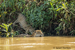 Female jaguar swimming in the Cuiaba River, joined by one of her young jaguars who wants to get a drink on a hot summer day