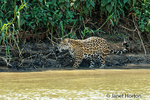 Mother jaguar hunting for Yacare Caiman for herself and two cubs, along the Cuiaba River