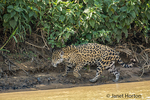 Mother jaguar hunting for Yacare Caiman for herself and two cubs, along the Cuiaba River.
