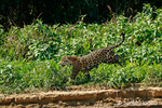 Mother jaguar running after Yacare Caiman for herself and her two cubs, along the Cuiaba River