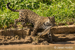Female jaguar carrying a young Yacare Caiman that she just caught, on her way to sharing it with her two adolescent jaguars, along the Cuiaba River