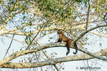 Brown or Black-capped, Pin or Tufted monkey straddling a branch