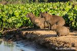 Capybara family portrait along the riverbank of the Cuiaba River