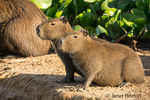 Portrait of two young Capybaras sitting along the riverbank of the Cuiaba River