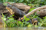 Two Giant River Otters swimming in the Water Hyacinths and acting curious about the tourists, in the riverbank of the Cuiaba River