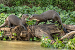 Two Giant River Otters playing on a log along the riverbank of the Cuiaba River