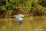 Cocoi Heron flying along the Cuiaba River