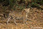 Jaguar walking in a shady area of the riverbank of the Cuiaba River