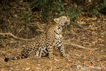 Jaguar looking up while sitting in a shady area of the riverbank of the Cuiaba River
