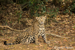 Jaguar sitting in a shady area of the riverbank of the Cuiaba River