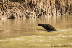 Anteater swimming across the Cuiaba River.