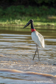 Jabiru wading in the shallows of the Cuiaba River, looking for food