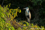 Cocoi Heron perched on a tree at sunset on the Cuiaba River