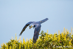 Hyacinth Macaw flying out of a Candlestick Tree along the Cuiaba River