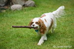Mandy, an adult Cavalier King Charles Spaniel, fetching a stick in the yard