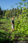 Four year old boy trying to find some green bean pods in Maple Valley, Washington, USA.  These are Goodmother Stollard purple pole beans he is looking at, with Scarlet Runner beans to his left.  Lots of plantain & other weeds are around the beans.