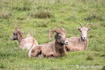 One male and two female Bighorn sheep resting at Northwest Trek Wildlife Park