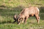 Male Bighorn Sheep (ram) grazing at Northwest Trek Wildlife Park