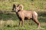 Male Bighorn Sheep (ram) standing at Northwest Trek Wildlife Park