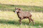 Male Bighorn Sheep (ram) walking at Northwest Trek Wildlife Park