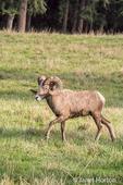 Male Bighorn Sheep (ram) walking at Northwest Trek Wildlife Park
