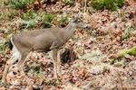 Male Mule Deer (buck) standing in the forest at Northwest Trek Wildlife Park