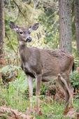 Female Mule Deer (doe) in the forest at Northwest Trek Wildlife Park