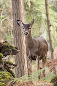 Female Mule Deer (doe) in the forest at Northwest Trek Wildlife Park