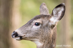 Close-up profile of a female Mule Deer (doe) in the forest at Northwest Trek Wildlife Park