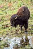 Bison in front of a water puddle at Northwest Trek Wildlife Park