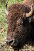 Portrait of an American Bison at Northwest Trek Wildlife Park