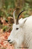 Portrait of a mountain goat at Northwest Trek Wildlife Park