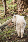 Mountain Goat in the forest at Northwest Trek Wildlife Park