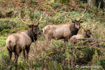 Three American Elk bucks in the forest at Northwest Trek Wildlife Park
