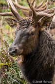 Portrait of an American Elk buck at Northwest Trek Wildlife Park
